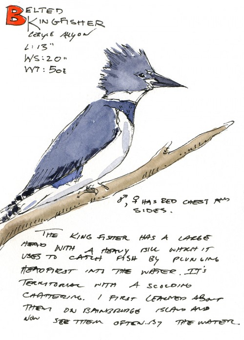 Belted Kingfisher (click on image to view larger)