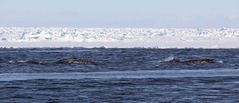 Narwhals surfacing, credit: Kristin Laidre