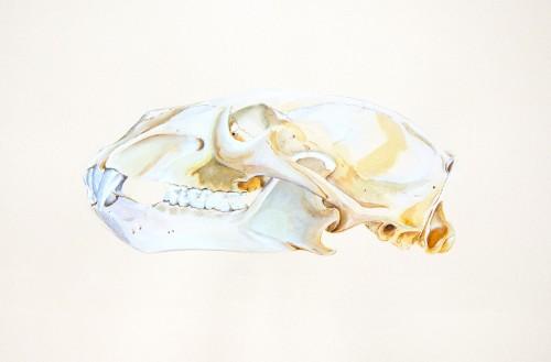 """Polar Bear Skull, 10"""" x 15"""" watercolor and gouache"""