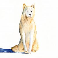 Sitting Sled Dog