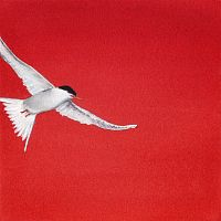 Red Tern