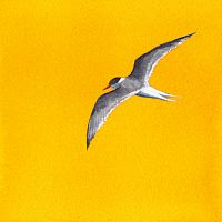Yellow Tern