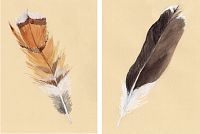 Hudson Godwit Feather