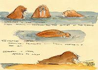 Walrus Studies